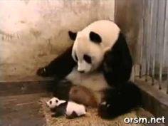 Чихание детеныша панды (The Sneezing Baby Panda)  Очень смешно!!!