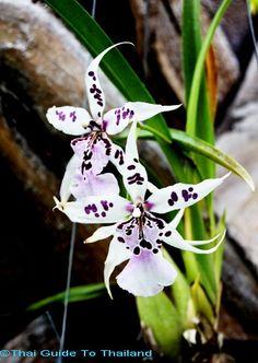 oncidium-mintunia
