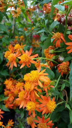 Mexican Flame Vine  -  Senecio confusus  -  This evergreen vine can spread to 8 feet by 10 feet or more. It loves the sun, can tolerate just about any soil and is cold hardy down to 25°.