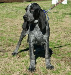 True Blue Bluetick Coonhound - Sterling *Look! I am not the only one who pins dogs from www.EvenstarHounds.com!