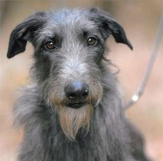 Other than the Basset, quite possibly my dream dog. (Scottish deerhound; this one's Hickory, 2011 AKC champion.)