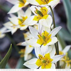 Turkestan tulip is extremely vigorous, producing up to 12 flowers from one bulb. zone 3-8