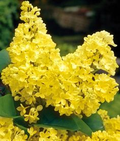 A rare but outstanding variety of Fragrant Lilac. 'Primrose' has large, fully double yellow blooms, which is uncommon in Lilacs.