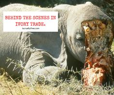 Elephants are being killed in Africa because of Ivory trade. Please stop Elephant cruelty by saying NO TO IVORY PRODUCTS. Your one decision could help solve this cruel industry.