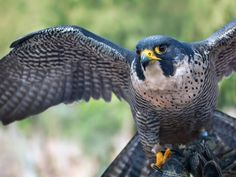 Ten Fun Facts About Falcons, the Birds As the Atlanta Falcons prepare to play in the Super Bowl, learn about the remarkable raptors behind the name