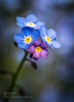 Forget-me-not IV by edithnero #nature #photooftheday #amazing #picoftheday