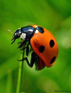 Ladybug by R A J on 500px