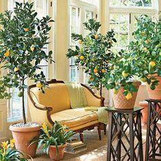Цитрусовые комнатные деревья популярны издавна. К ним относятся лимоны, апельсины, мандарины. Благодаря содержанию фитонцидов, эти деревья благоприятно влияют на здоровье, и в комнате всегда присутствует легкий цитрусовый аромат.