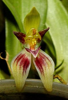 Kefersteinia trullata by alejorchids, via Flickr