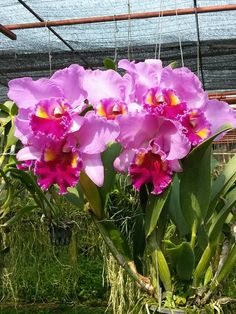 Clique e assista o vídeo. All Flowers, Flowers Nature, Exotic Flowers, Amazing Flowers, Beautiful Flowers, Orchid Plant Care, Orchid Cactus, Orchid Plants, Cattleya Orchid