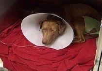 Home neutering attempt nearly kills dog