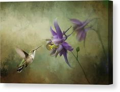 Hummingbird Canvas Print for sale. Ruby-throated Hummingbird feeding on a purple columbine flower - purple and dark green and brown colors. The image gets printed on one of our premium canvases and then stretched on a wooden frame, visit our shop and check out your options. 30 days money back guarantee. Diana van Tankeren - Art for your Home Decor and Interior Design. Columbine Flower, Diana, Canvas Art, Canvas Prints, Thing 1, Art Sites, Art Background, Texture Art, Beautiful Artwork