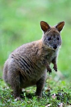 Red-Necked Pademelon | by WilliamBullimore