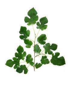 A faj kettős latin neve: Morus alba Magyar név: fehér eperfa Család: Moraceae  Rend: Rosales Életforma: MM Termés: makk terméságazat