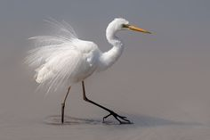 Great Egret by Phillipa Alexander - Photo 129623141 - Stunning Photography, Animals And Pets, Birds, Ducks, Artist, Colorful, Image, Beauty, Nature