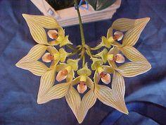 Bulbophyllum annandaley