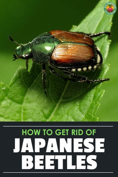 How to Get Rid of Japanese Beetles These nasty bugs can devastate your garden. Learn how to get rid of Japanese Beetles naturally and prevent them from ever coming back! Slugs In Garden, Garden Bugs, Garden Insects, Garden Pests, Bug Control, Pest Control, Organic Gardening, Gardening Tips, Sustainable Gardening
