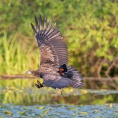 This male Red-winged Blackbird, photographed by Aaron Baggenstos, is a confident bird. Throughout the nesting season, he'll chase away any large bird that approaches his territory—even one as large as this young Bald Eagle.⠀ ⠀ This photo was selected as part of our interesting bird behavior collection in last year's Audubon Photography Awards. Learn about the 2017 competition by clicking the link in our bio.