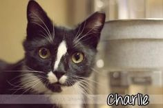 Charlie R. is an adoptable Domestic Short Hair Cat in Woodbury, NJ. Come see Charlie R. at our adoption center in the PetSmart in Deptford, NJ, off Clements Bridge Rd by Sams Club and Wal-Mart They sa...