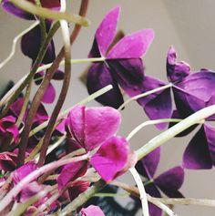 Oxalis Houseplants are Low Maintenance Beauties Paper Flower Arrangements, Paper Flowers, Oxalis Triangularis, Luck Of The Irish, Garden Spaces, Flower Pots, Flowers Garden, Houseplants, Outdoor