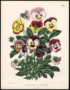 Henrik Witte 1868 Tricolor Pansy - antique botanical illustration