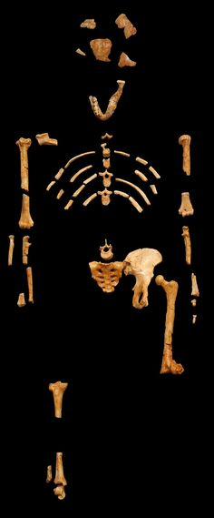 AL 288-1, common name Lucy, species: Australopithecus afarensis. Age 3.2 million years!
