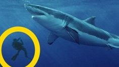 Top 5 Best MEGALODON SHARK Sightings of All Time   Megalodons are World's largest sharks ever! These giant sea monsters didn't go extinct! These mysterious creatures are still alive! You'll believe in megalodons existence after this video cause you'll see real megalodon evidence. The enormous beings still lurk in the ocean ...and it's really scary..because these sharks are abnormally large ... and actually no other shark is so huge even great whites or whale sharks... megalodon looks like…