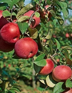 Omenapuu Lobo - Viherpeukalot