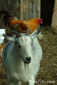 Goat AND Chicken.