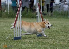Agility- Get Active & Bond with your Dog! http://talenthounds.ca/health/fit-dog-friday/agility-training-bond-with-your-dog/