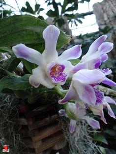 Orchids - Chysis Langleyensis 'Desert Sun' - Orchidaceae by fotoproze, via Flickr