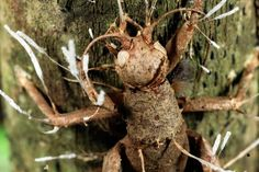 """Crickets too can fall prey to zombie fungi (as pictured), though little is known about the fungus species that brought this insect to its horrific end.    Hughes plans to remedy that—and expects to find many more zombie fungus species in the forests of Brazil.    """"This is only the tip,"""" he said, """"of what will be a very large iceberg.""""    (See """"'Zombie Virus' Possible via Rabies-Flu Hybrid?"""")"""