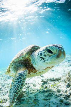 """ Young Okinawan Sea Turtle   Pete Leong """