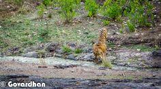 Tiger Safari in Ranthambore National Park with Govardhan |