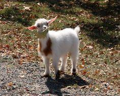 I gots a leaf! | Puget Sound Goat Rescue