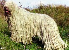 Комондор - собака с дредами - Путешествуем вместе