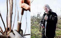 Pod dit æbletræ i det tidlige forår, og få en ny æblesort til at gro på den æbletræsstamme, der allerede står i baghaven. Se billedserien og læs pometmester Lisbet Dahl Larsens tips her.