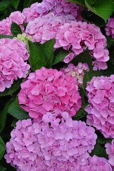 Everlasting® Series of Hydrangeas – Plants Nouveau Hortensia Hydrangea, Hydrangea Macrophylla, Hydrangea Garden, Pink Garden, Hydrangea Flower, Beautiful Flowers Garden, Pretty Flowers, Colorful Flowers, Beautiful Gardens