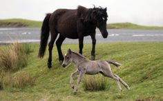 A Dartmoor Hill pony foal runs on the moor on Dartmoor on May 17, 2011 in Princetown England. Although a tourist attraction, especially duri...