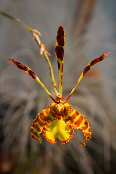 Oncidium Orchids | Oncidium papilio by cskk in Oncidium on Fotopedia - Images for ...