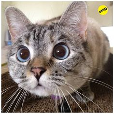 """The problem with cats is that they get the exact same look on their face whether they see a moth or an axe murderer."" --Paula Poundstone This is a Siamese-tabby mix. I Love Cats, Crazy Cats, Cute Cats, Funny Cats, Animals And Pets, Funny Animals, Cute Animals, Cat Store, Photo Chat"