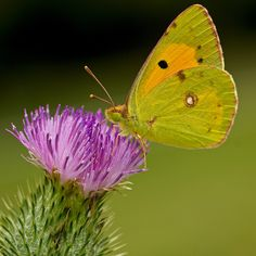 Explore #490 Clouded yellow butterfly foraging flower of welted thistle in a wet meadow. Limousin, France. Pierids in square  Slideshow Pierids in square  ----- Colias butinant une inflorescence de chardon crépu dans une prairie humide. Limousin, France. Piérides au carré  Diaporama Piérides au carré