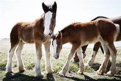 budweiser clydesdales foals Stan on the left, and Hope on the right. I actually met Stan at the Budweiser Clydesdale barn in Missouri. Most Beautiful Horses, Pretty Horses, Animals Beautiful, Beautiful Creatures, Big Horses, Horse Love, Black Horses, Horse Pictures, Animal Pictures