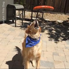 This golden retriever can't catch anything...