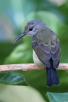 Black sunbird (Leptocoma sericea) black nectar Bird. Tangkoko | Flickr - © Lim Sheau episode