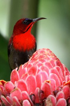 Crimson sunbird, the national bird of Singapore
