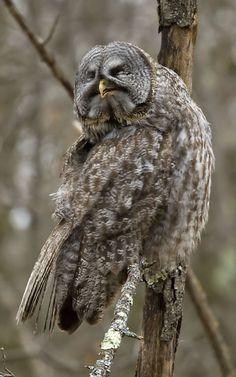 http://www.nebirdsplus.com/GreatGOwl/GGOwl%204-6-09%20800HV.jpg