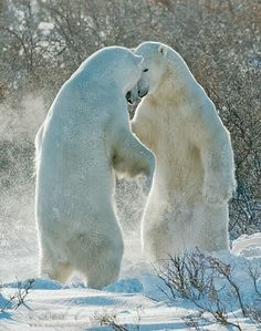 Polar bears in the wild. A powerful predator and a vulnerable or potentially endangered species. - Polar bears in the wild. A powerful predator and a vulnerable or potentially endangered species. Vida Animal, Mundo Animal, Beautiful Creatures, Animals Beautiful, Beautiful Babies, Funny Animals, Cute Animals, Wild Animals, Love Bear