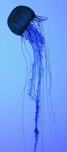 sea life - sea life photography - sea life underwater - sea life artwork - sea life watercolor sea l Jellyfish Tattoo, Blue Jellyfish, Jellyfish Aquarium, Jellyfish Species, Beautiful Creatures, Animals Beautiful, Wale, Deep Blue Sea, Ocean Creatures