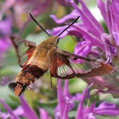 Hummingbird Moth in the flowers. Curious Creatures, All Gods Creatures, Butterfly Pictures, Butterfly Art, Hummingbird Moth, Butterfly Species, God Is Amazing, Moth Caterpillar, Hawk Moth